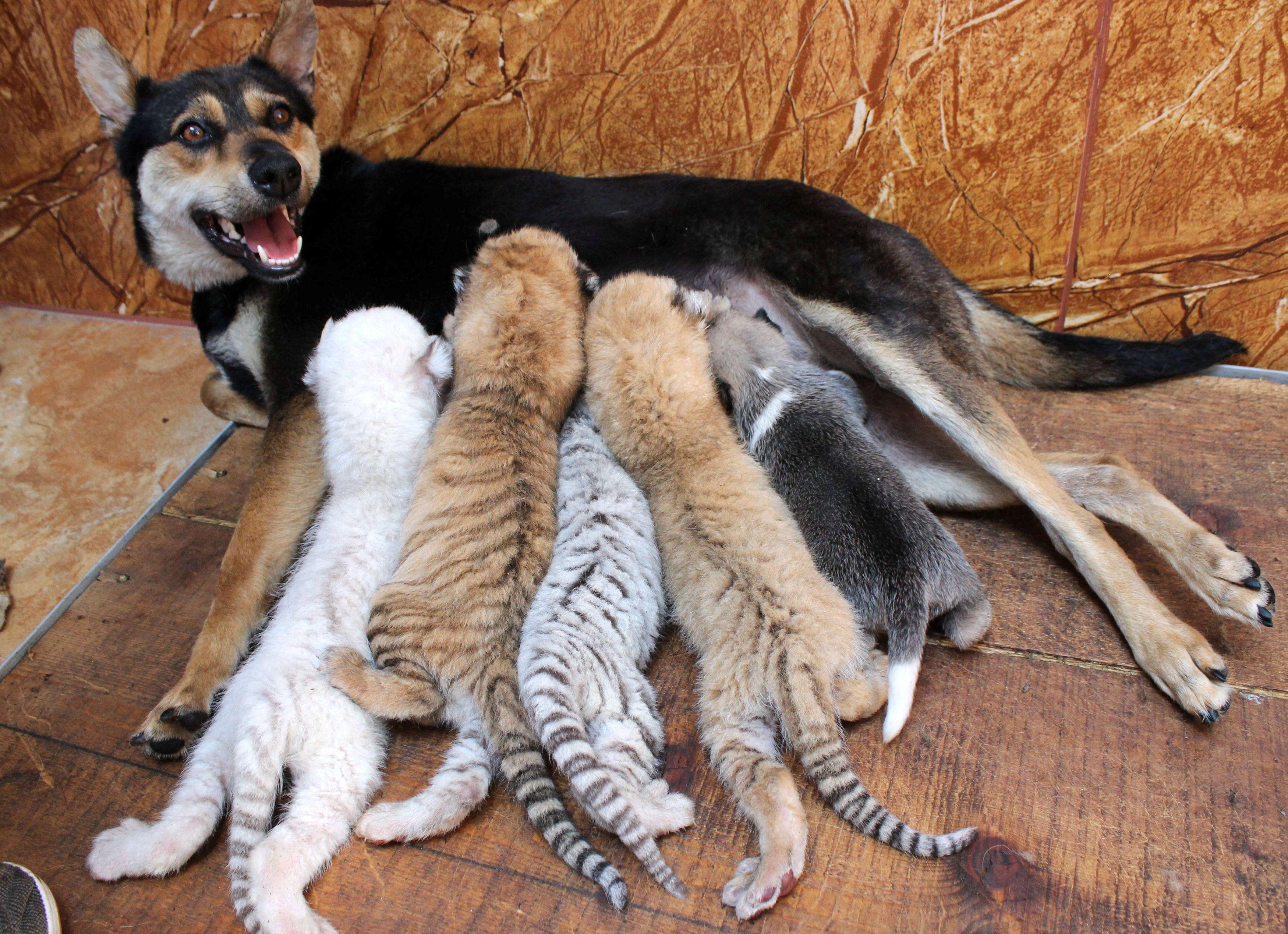 Cadelinha amamenta filhotes de tigre na China