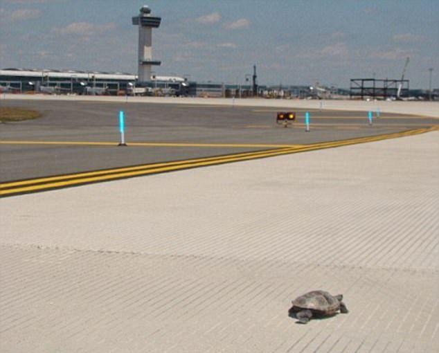 Tartarugas causam atrasos em voos em aeroporto de Nova York