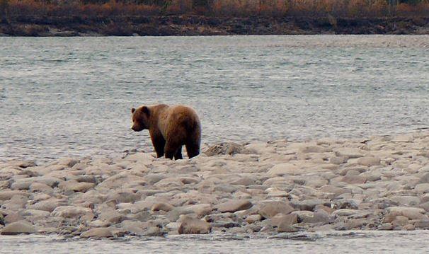 Após atacar homem, ursa é abatida e causa polêmica na Itália