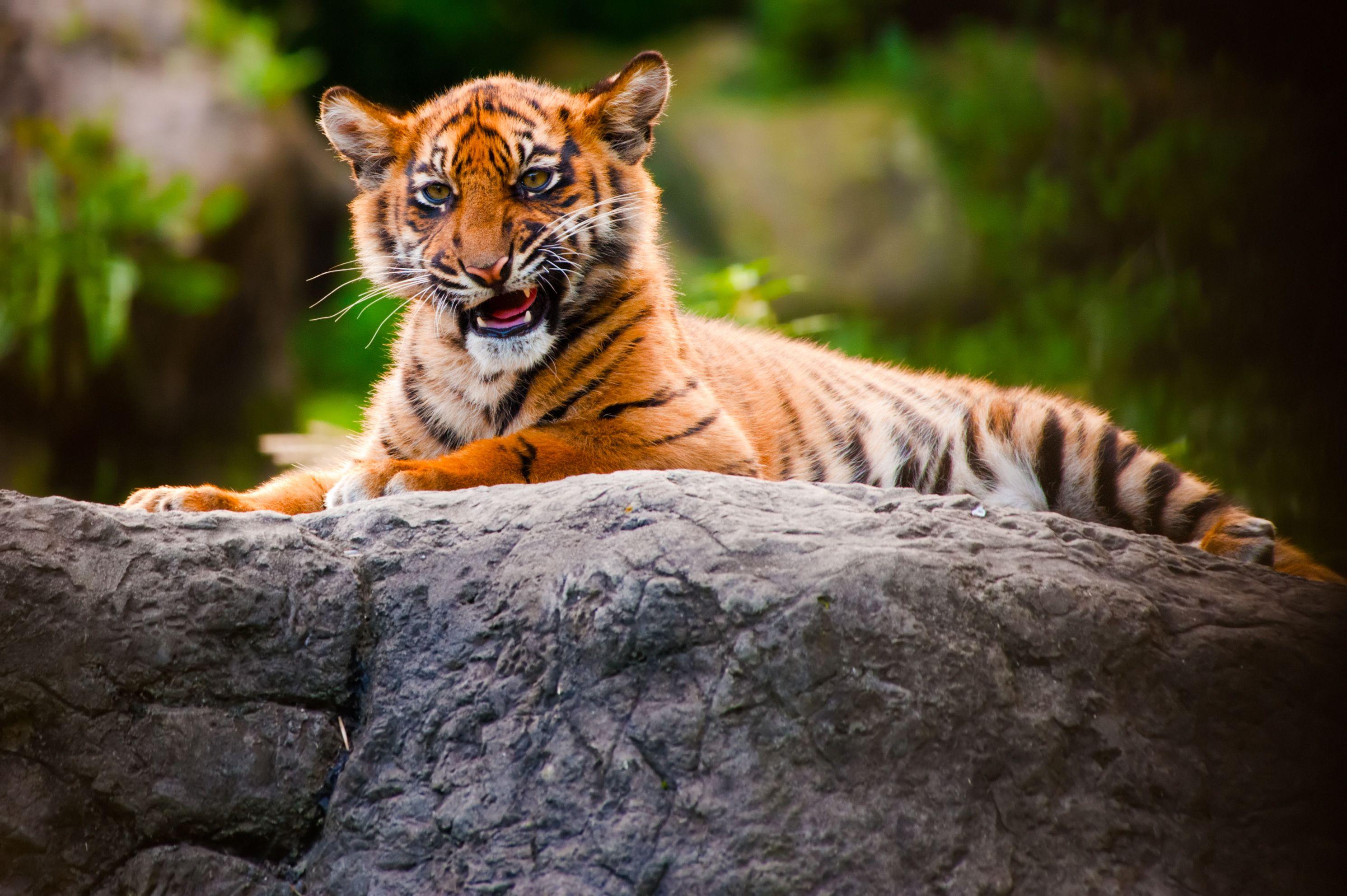 Os tigres são destaque do programa / Divulgação