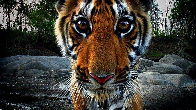 Tigre, espião da selva / Divulgação