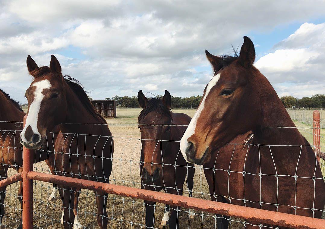 Imagem mais compartilhada Soro obtido do sangue de cavalos pode ter anticorpos neutralizantes contra o coronavírus