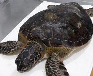 Tartaruga Verde é resgatada por Policiais Ambientais em Ubatuba