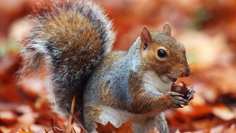 Esquilo cinzento / Divulgação