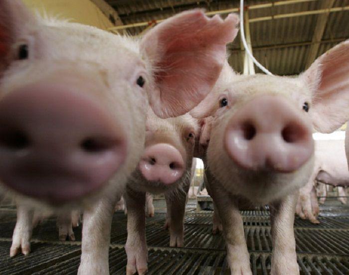 Exportação de suínos