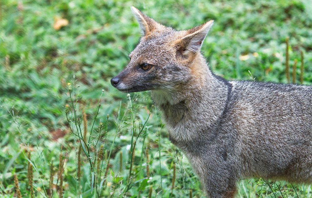 A raposa-do-campo em seu novo habitat
