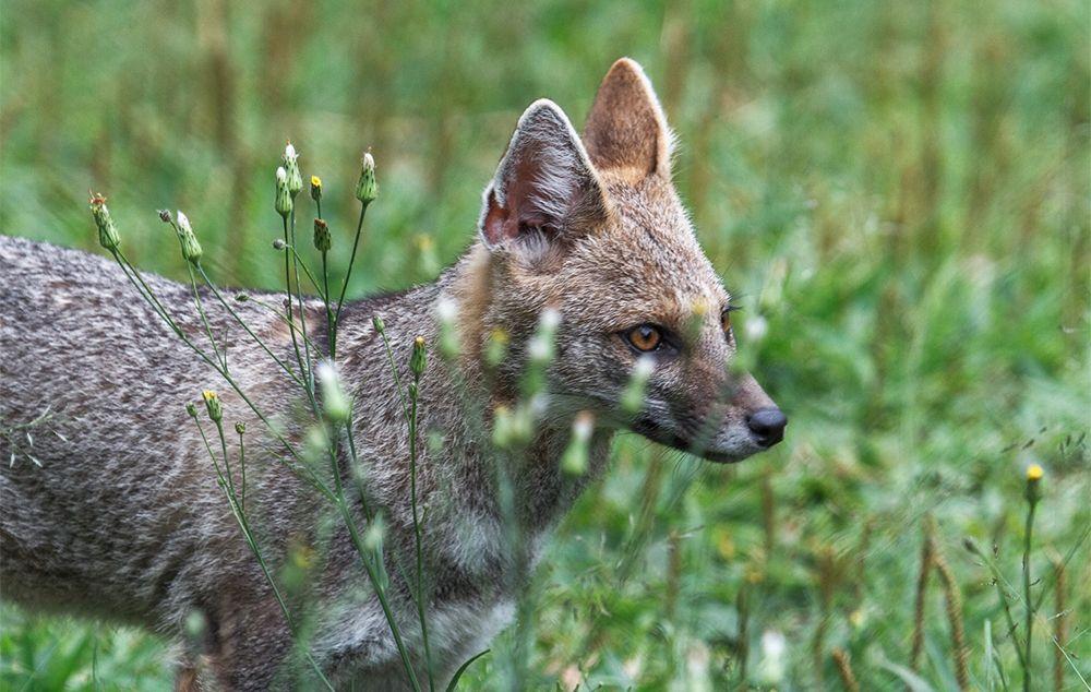Raposas-do-campo só existem em áreas de cerrado e estão ameaçadas de extinção.