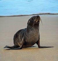 Além de pinguins, Lobo Marinho também marca presença no Litoral Norte em Julho / Insituto Argonauta
