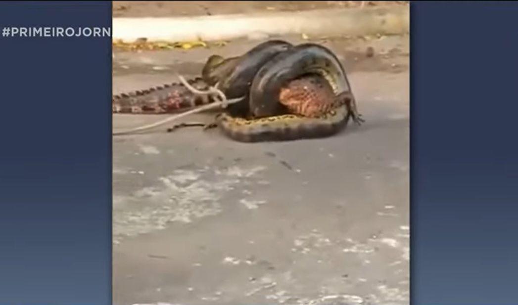 Imagem mais compartilhada Moradores de Manaus flagram ataque de sucuri gigante a jacaré