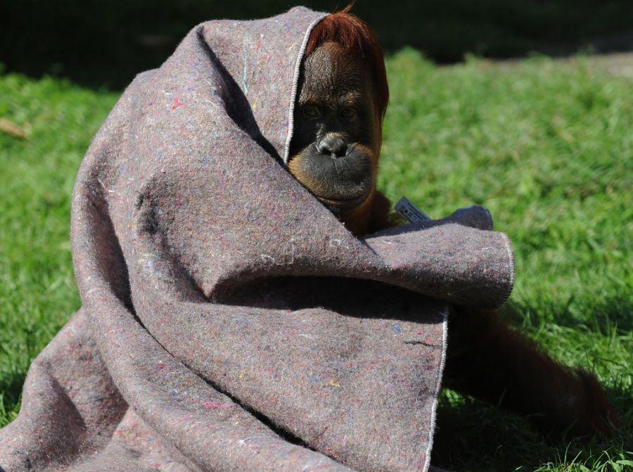 Orangotango se envolve em cobertor no zoo do Rio / Foto: Wanderlei Almeida/AFP