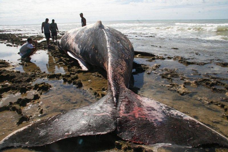 Resultado de imagem para baleia encalhada bahia