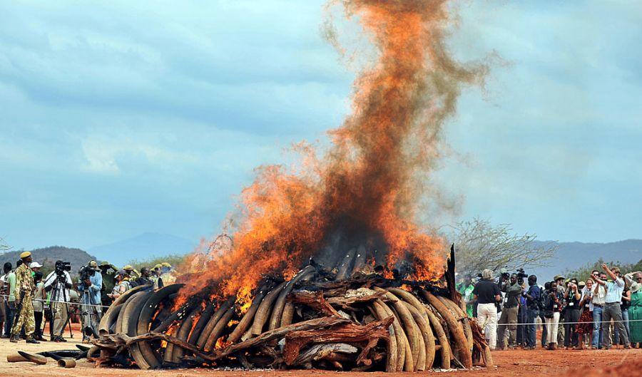 Marfim contrabandeado foi queimado em fogueira / Foto: Tony Karumba/AFP