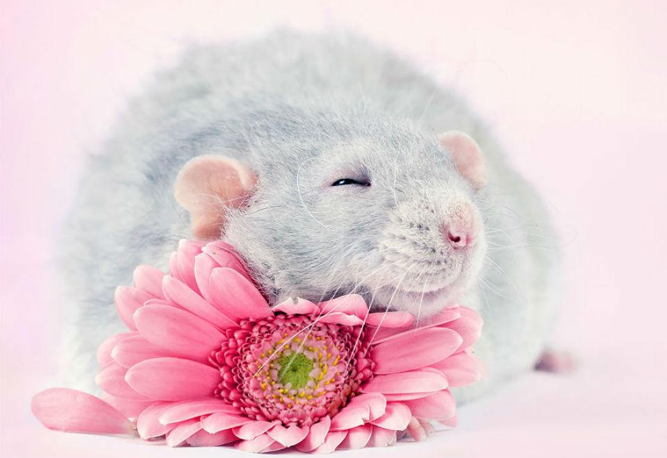 Fotógrafa faz ensaio fofo para quebrar imagem negativa dos ratos