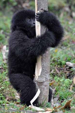 Jovem Gorila das Montanhas se alimenta de seiva de árvore / Steve Terrill/AFP