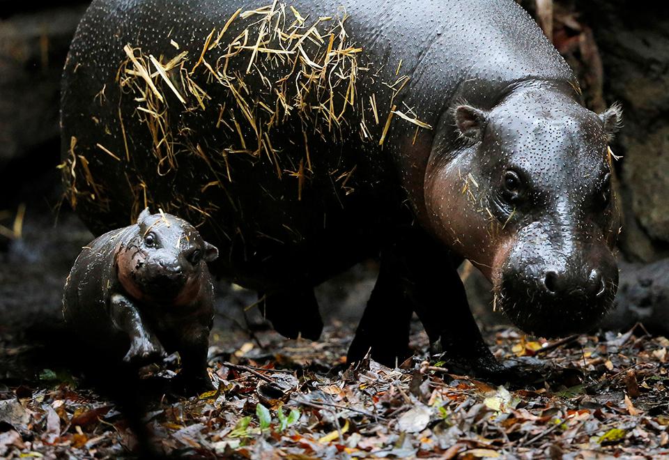 Hipopótamo bebê é atração de Zoo