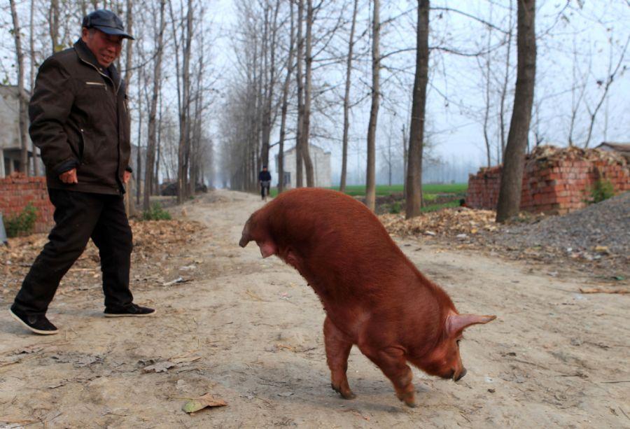 O porco aprendeu a andar com apenas duas pernas na China / AFP