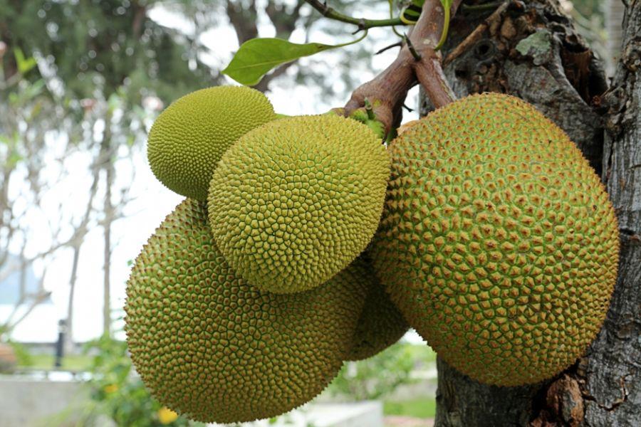 A semente da Jaca é estudada por pesquisadores da USP de Ribeirão Preto / Warmer / Shutterstock