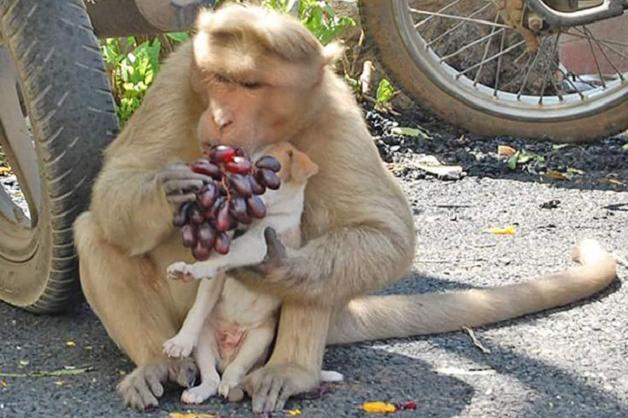 Macaco adota cãozinho na Índia