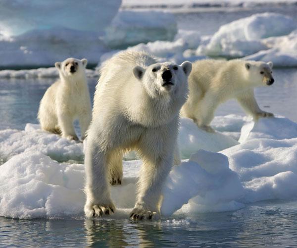 A realidade animal nos Àrticos