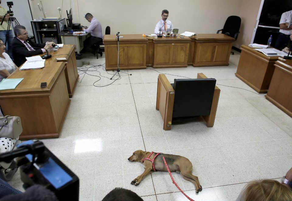 Um cachorro chamado Campeon participou do julgamento do ex-dono contra maus-tratos, em Atenas, na Costa Rica