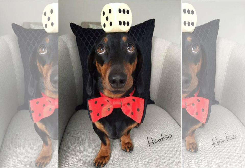 Cão que equilibra objetos na cabeça viraliza na web