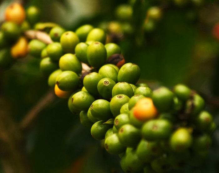 café-verde.jpg