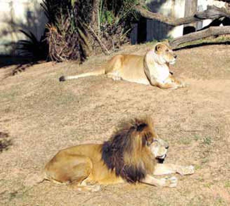leoa de zoo morre ap s descoberta de tumor cidades. Black Bedroom Furniture Sets. Home Design Ideas